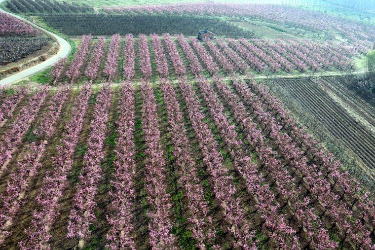 Vista aèria dels camps de presseguers florits a Aitona amb el seu característic color rosat, amb un globus aerostàtic aterrant al fons