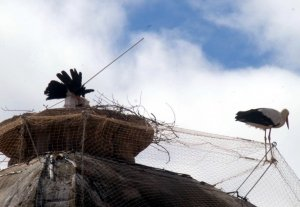Imatge on es veu una cigonya atrapada al sistema Bye Bye Bird a la cúpula de la catedral de Lleida