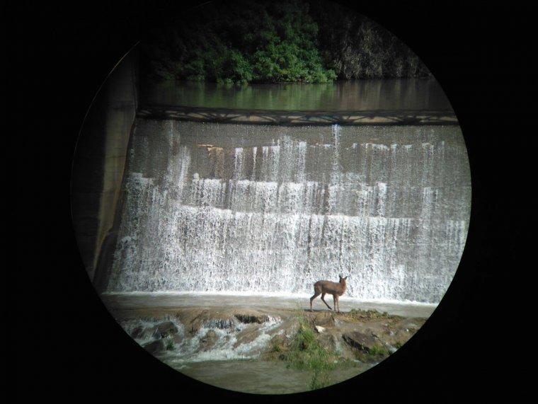 Imatge general del cabirol atrapat a les comportes del riu Segre a Lleida