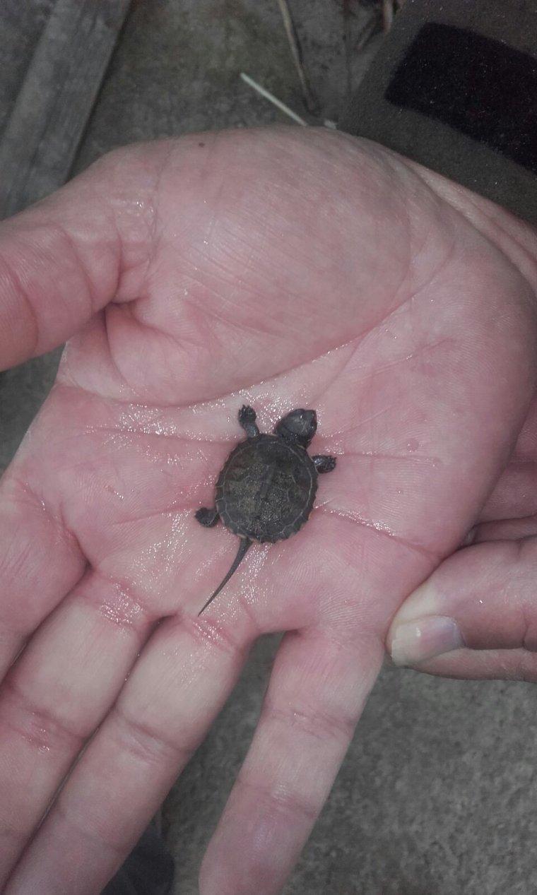 Pla mig on es pot veure una mà subjectant la cria de tortuga d'estany trobada a l'estany d'Ivars i Vila-sana