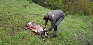 Imatge d'una de les ovelles atacades per l'os.