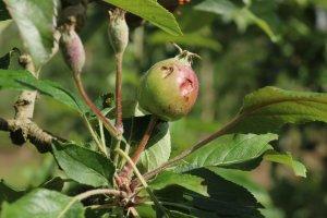 Pla detall d'una poma malmesa per de la pedregada del 12 de maig