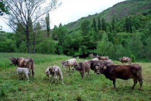 Un ramat de vaques en una finca del Pallars Sobirà