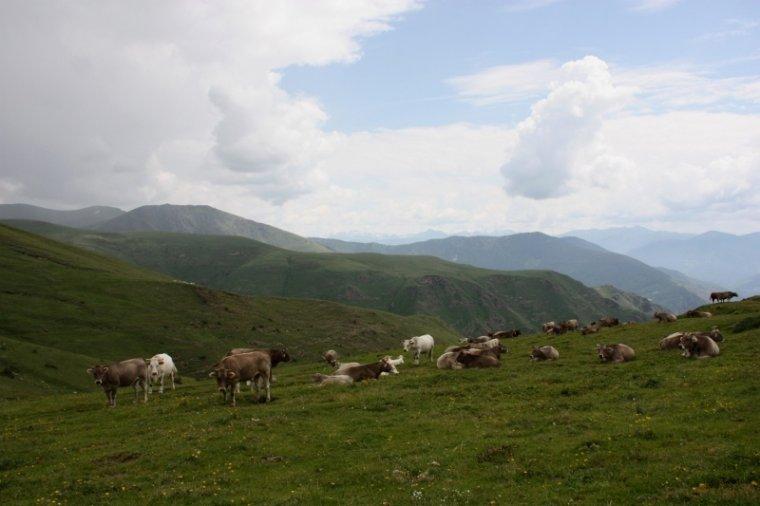 Un ramat de vaques a la muntanya