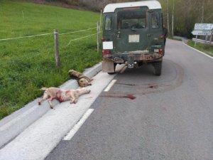 Imatge dels dos gossos morts al Pallars