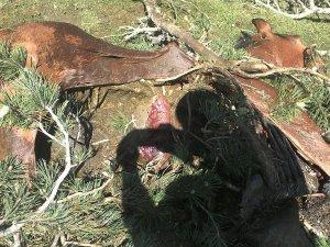 Imatges de les restes de l'euga morta a Son del Pi