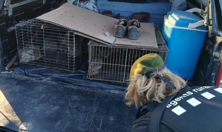 Els conills localitzats a Torà pels Agents Rurals