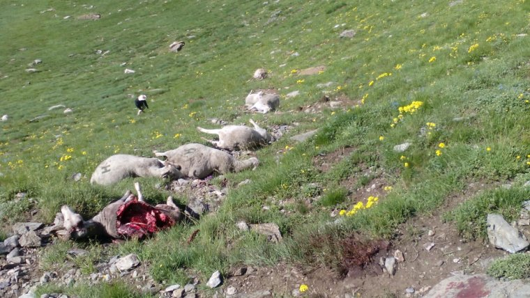 Imatge de les ovelles atacades per l'ós