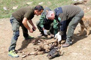 Agents Rurals i pastor mirant el cadàver d'un atac de l'os