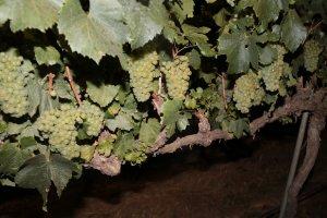 Ceps amb raïm a les vinyes de Raimat