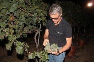 El director tècnic de Viticultura del celler de Raimat, Joan Esteve, mostrant raïm en l'inici de la verema