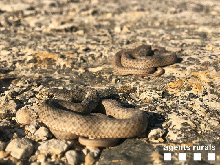 Imatge de dues de les serps rescatades