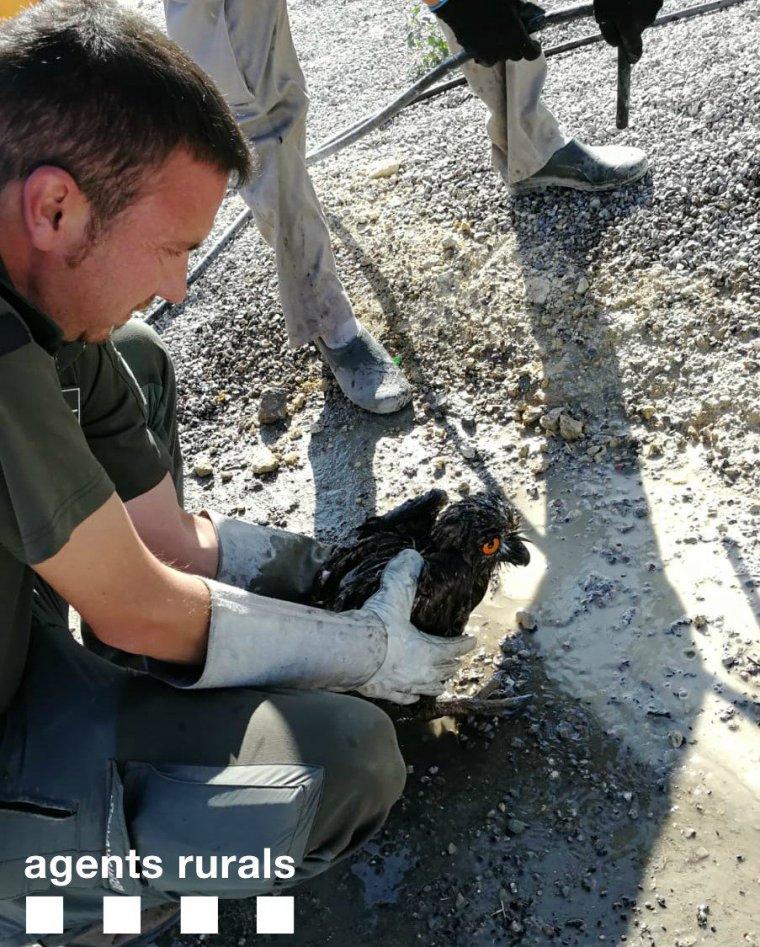 Imatge de l'au rescatada en una bassa de purins