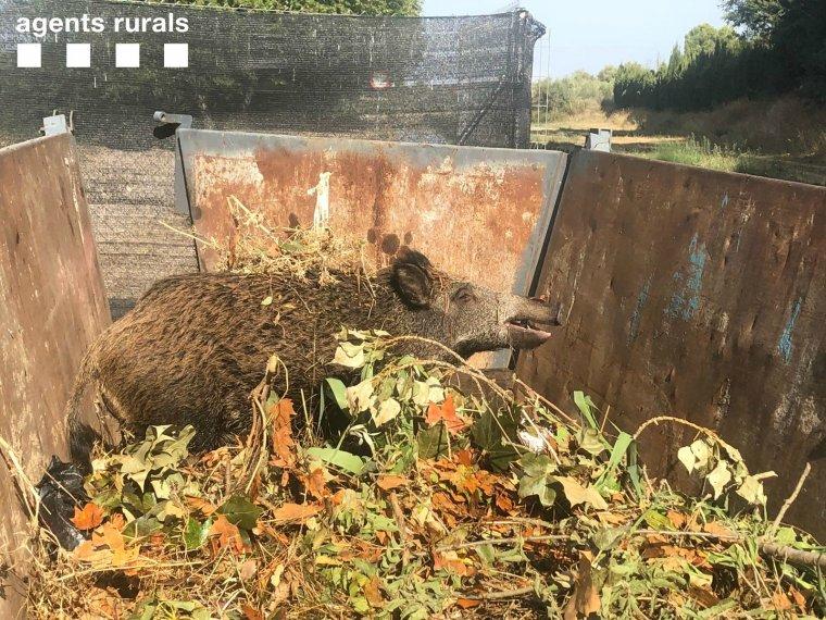 Imatge del porc senglar rescatat