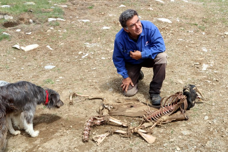 Un ramader mostrant una cabra morta per un atac de l'os