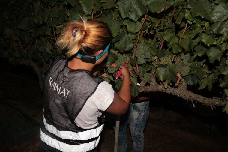 Una treballadora de Raimat collint el raïm manualment i de nit