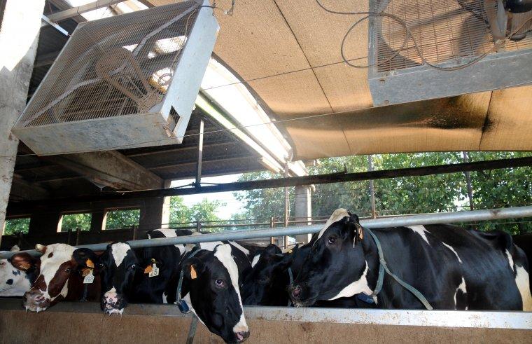 Vaques amb ventiladors i dutxes a la granja Can Feliu de Campllong