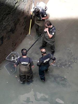 Operaris rescatant peixos del canal de la central de Bossòst