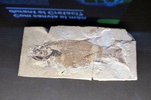 Un peix fossilitzat que es pot veure a la mostra del fons paleontològic de l'IEI