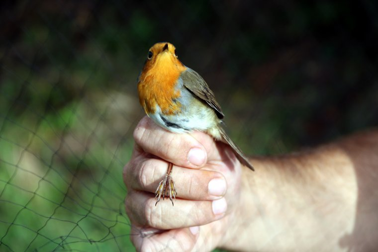 Imatge d'un ocell de l'espècie pit-roig capturat a la Vall Fosca