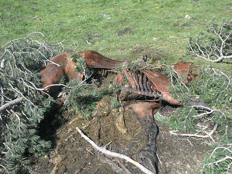 Primer pla de les restes d'una euga morta la setmana de la revetlla de Sant Joan del 2018