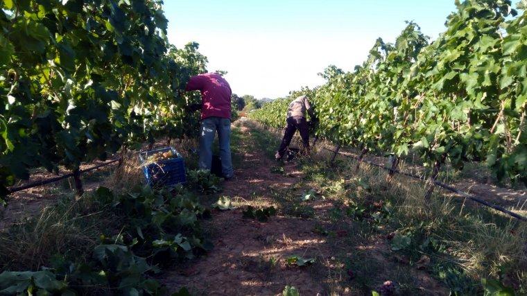 Treballadors collint els primers raïms de la temporada a les vinyes del celler Mas Blanch i Jové de la Pobla de Cérvoles