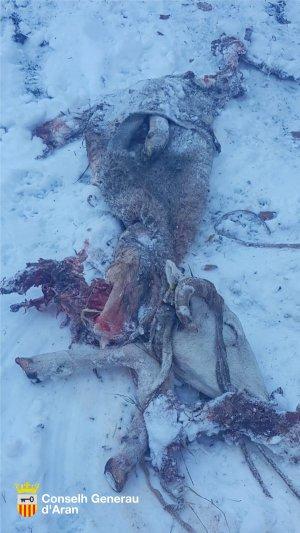 Imatge de l'ovella atacada per Goiat