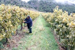 Pla general del viticultor Xavier Ribes revisant els ceps de la seva finca de Montan de Tost