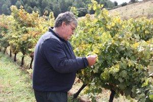 Pla mitjà del viticultor Xavier Ribes revisant un dels ceps de la seva finca de Montan de Tost