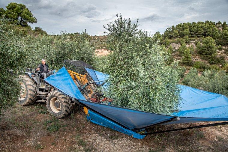 Una pagès de Juncosa abocant les olives que ha recollit per a l'elaboració d'oli verd
