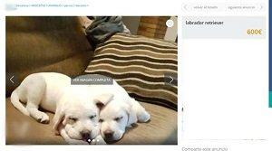 Imatge de la venda de cadells de gos