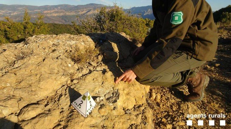 Imatge d'un fòssil espoliat a Tremp