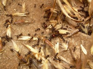 Formigues