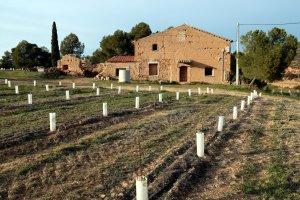Pla obert d'algunes dels arbres que conformaran el primer laberint d'oliveres d'Europa, amb la casa del Mas Janet al fons