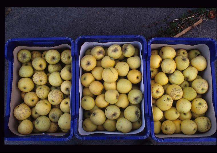 Pomes golden afectades de bitter pit