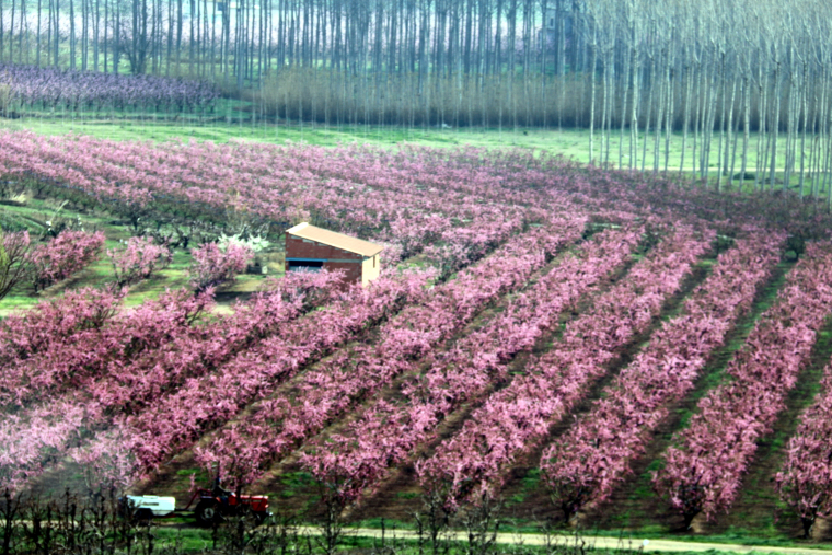 Camps de presseguers florits
