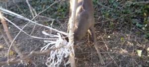 Imatge del cabirol enganxat amb les banyes a Sort