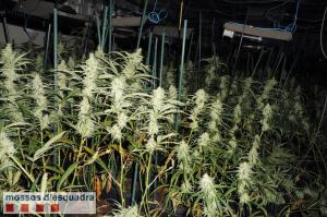 Més plantes de marihuana