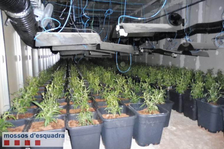 Els milers de plantes de marihuana