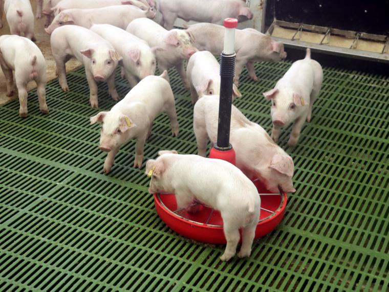 Una granja de porcs