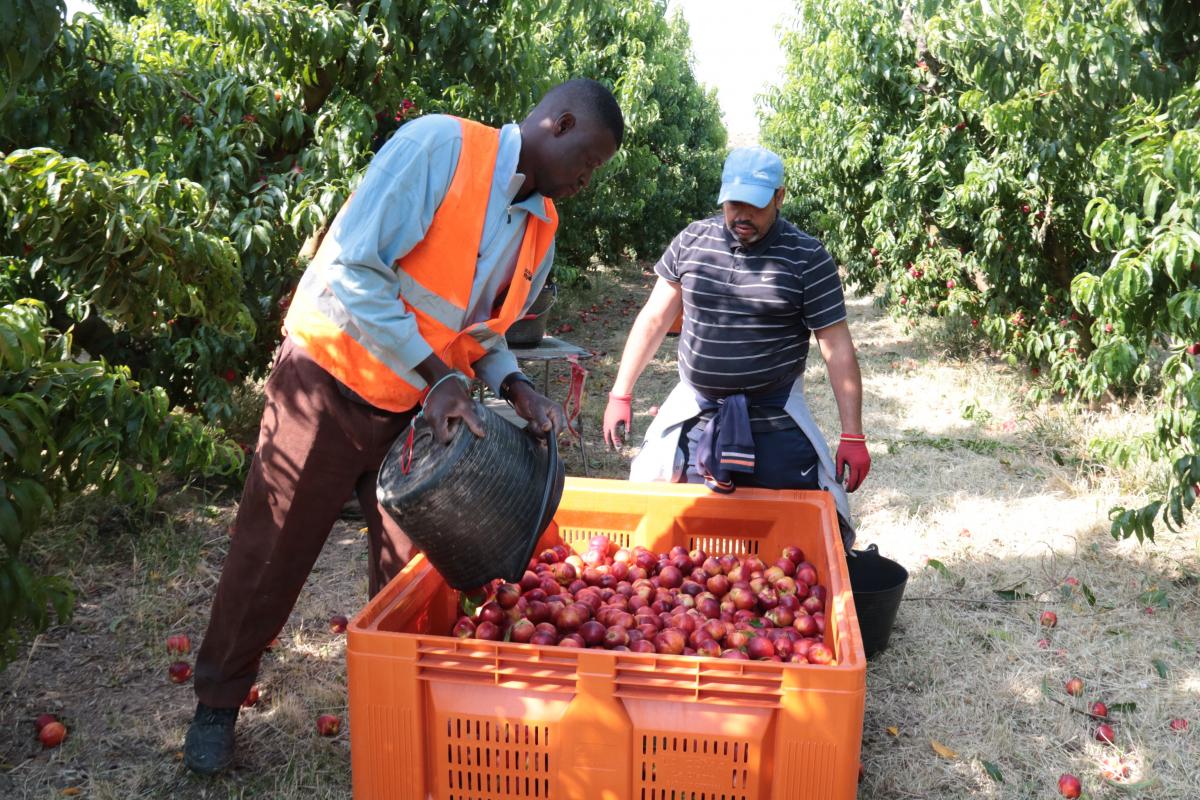 Pla obert de temporers collint nectarines en una finca agrícola de Soses