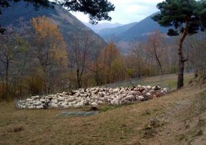 Pla general d'un dels agrupaments de ramats d'ovelles