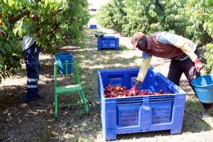 Treballadors collint nectarines en una finca agrícola d'Alcarràs