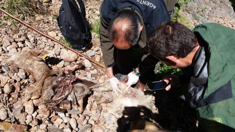 Els Agents Rurals comprovant les restes d'una cabra morta