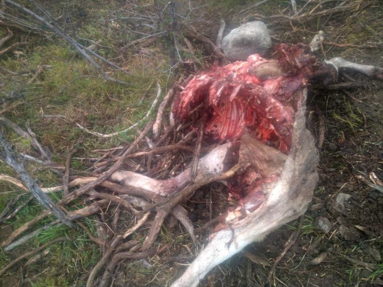 Restes d'una ovella morta a causa d'un atac d'os