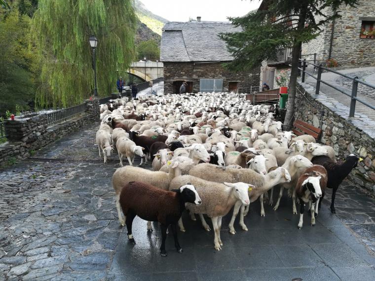 Un ramat d'ovelles arribant al poble després de passa l'estiu a la muntanya