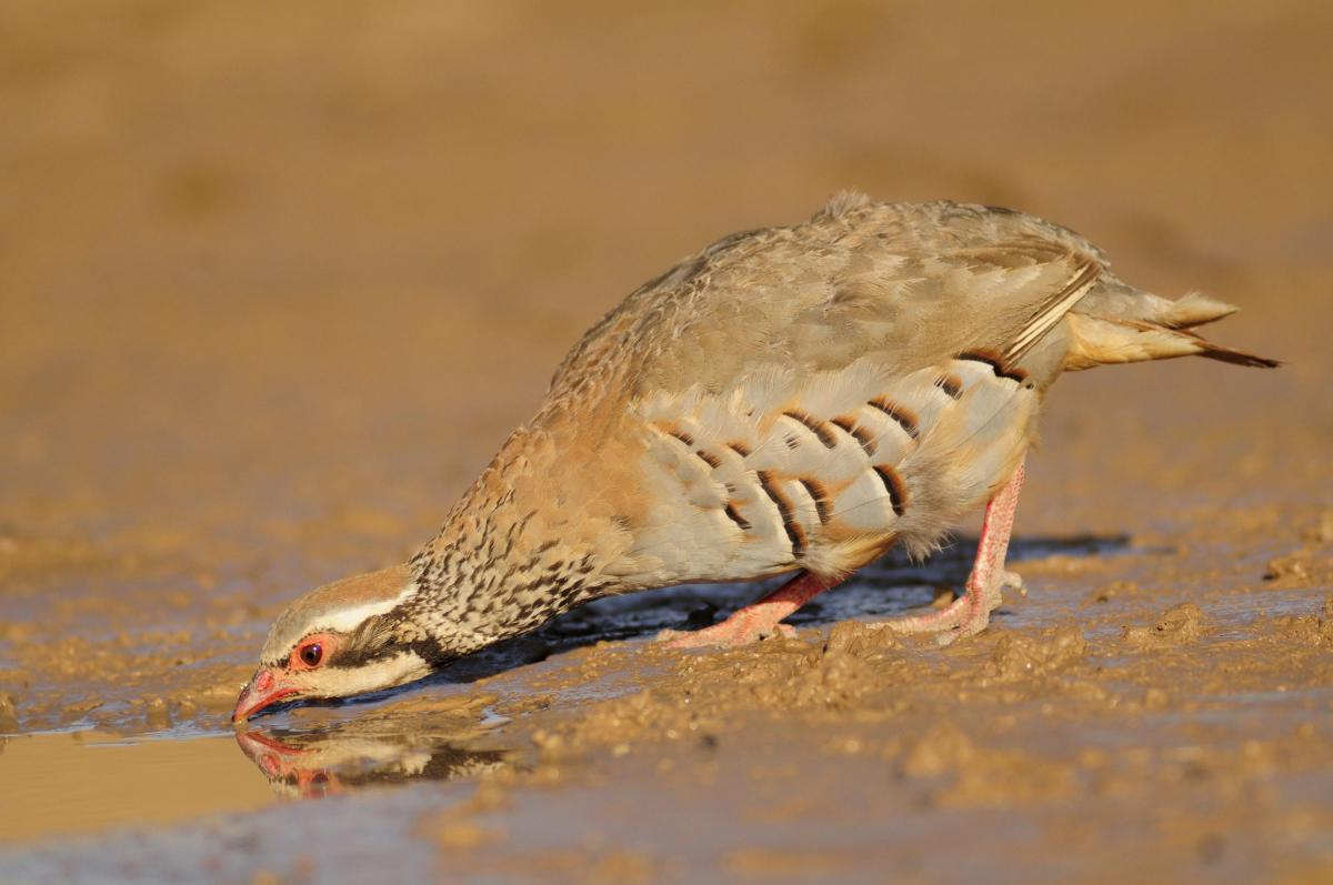 Pla curt d'un ocell bevent aigua d'una bassa recuperada als secans de la Noguera