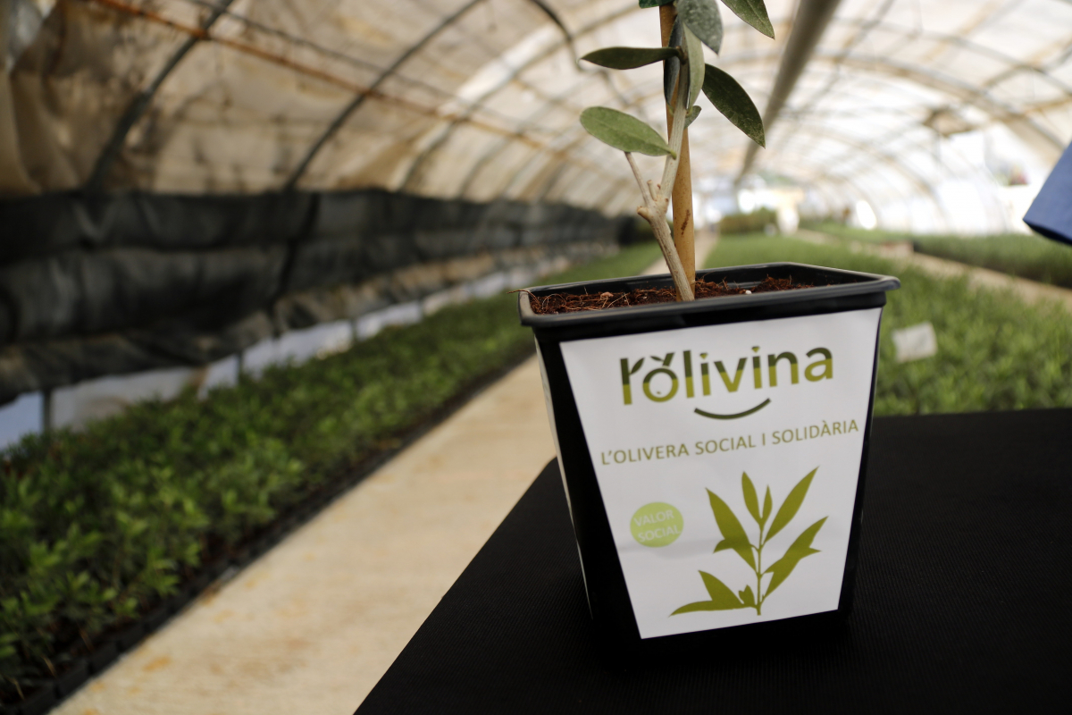 Pla curt d'una olivera solidària de l'ACUDAM, 'L'olivina'