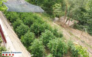 La plantació de marihuana localitzada a Anyà, a Artesa de Segre