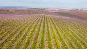 Pla general aeri fet amb dron dels camps de presseguers florits a Aitona
